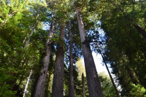 In among the Redwoods